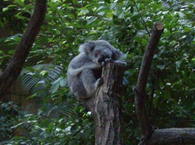 koala002.jpg