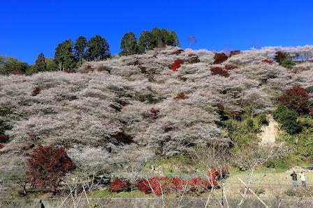shikizakura02.jpg