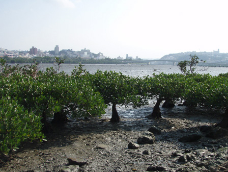 mangrobu001.jpg