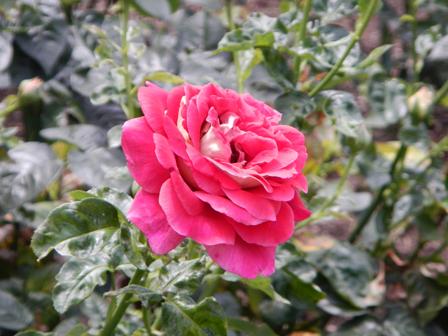 roserun001.jpg
