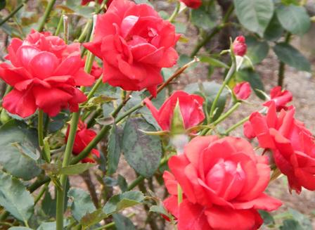 roserun004.jpg