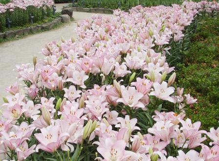 yuri_pink.jpg